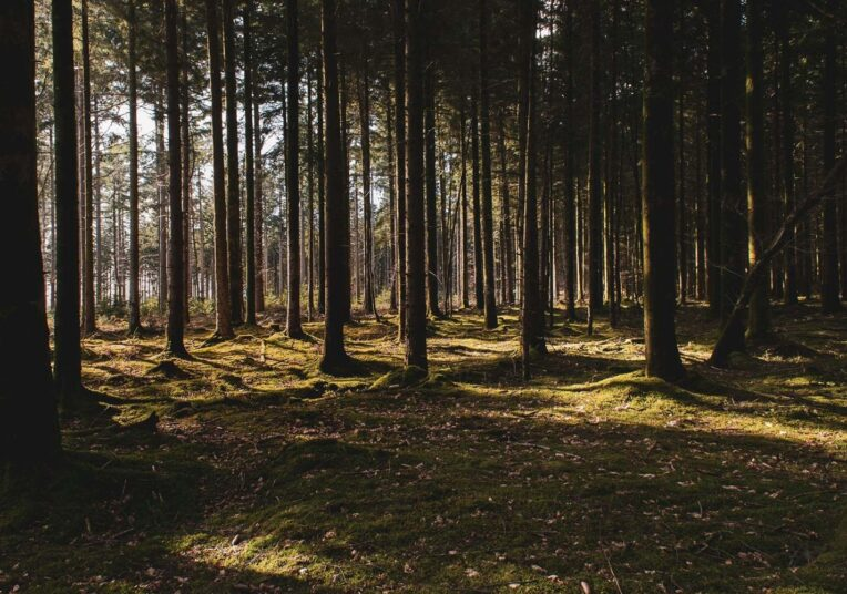 forest with tall trees and peaking sunlight